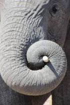 elefant fibonaci